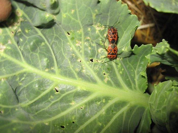 Чем из народных средств обработать капусту от вредителей: как спасти растения, если у них листья в дырочку, чем опрыскать, полить или посыпать, и борьба без химии