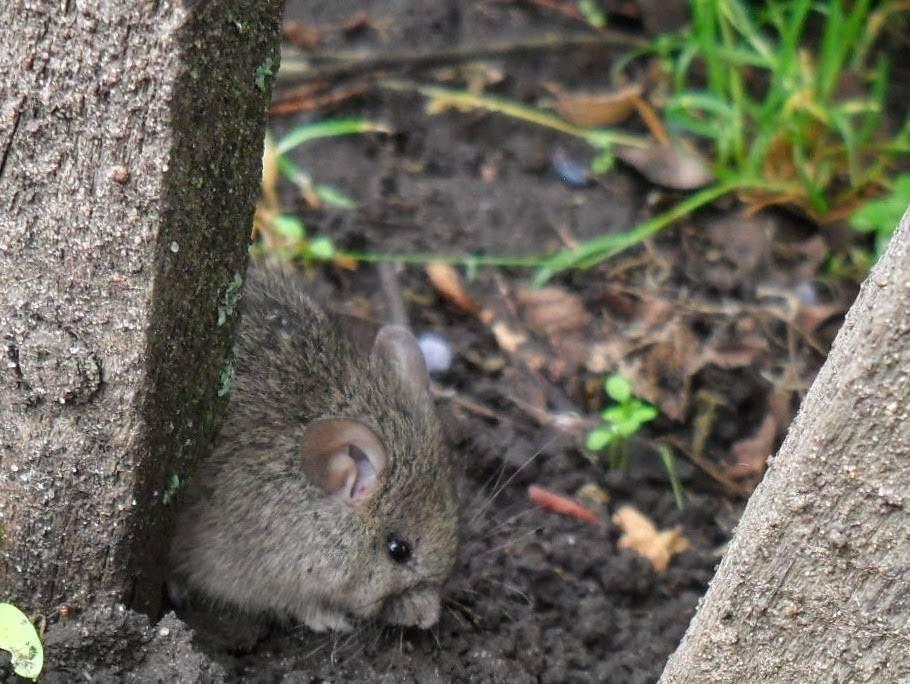Как избавиться от мышей-полевок на участке: как распознать, какой вред наносят, обзор основных методов борьбы - химические средства, ловушки и капканы, народные методы, плюсы и минусы перечисленных вариантов