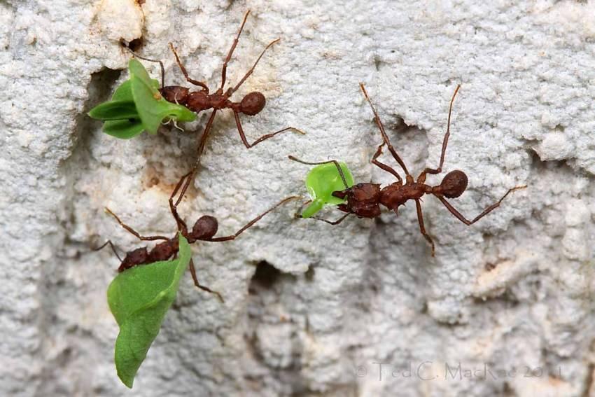 Матка муравья атта телепортация опровержение. паранормальные муравьи атта и телепортация королевы. матка обладает уникальной особенностью
