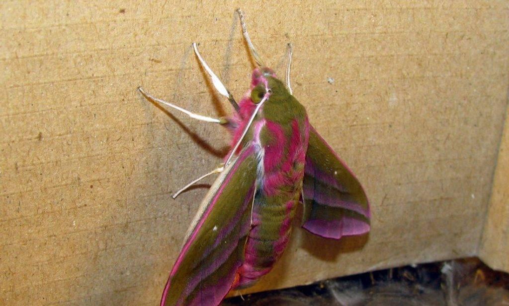 Бабочка бражник - описание, среда обитания, виды
