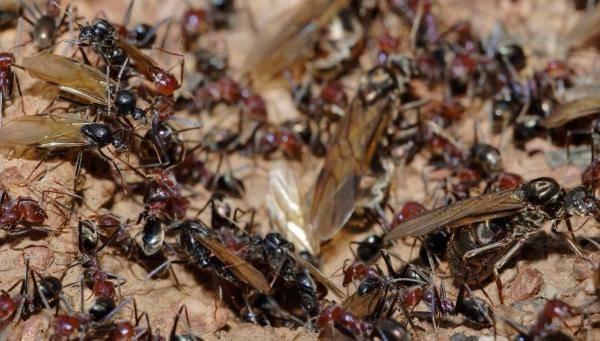 К чему снятся муравьи: черные, красные, рыжие, что значит видеть много ползающих насекомых в доме, постели, на волосах