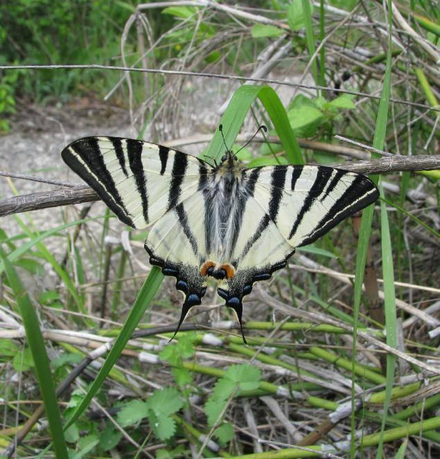 Подалирий (бабочка)