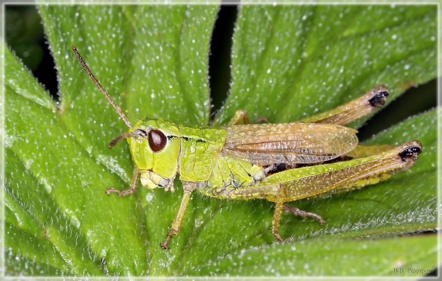 Кобылка - насекомое семейства саранчовые