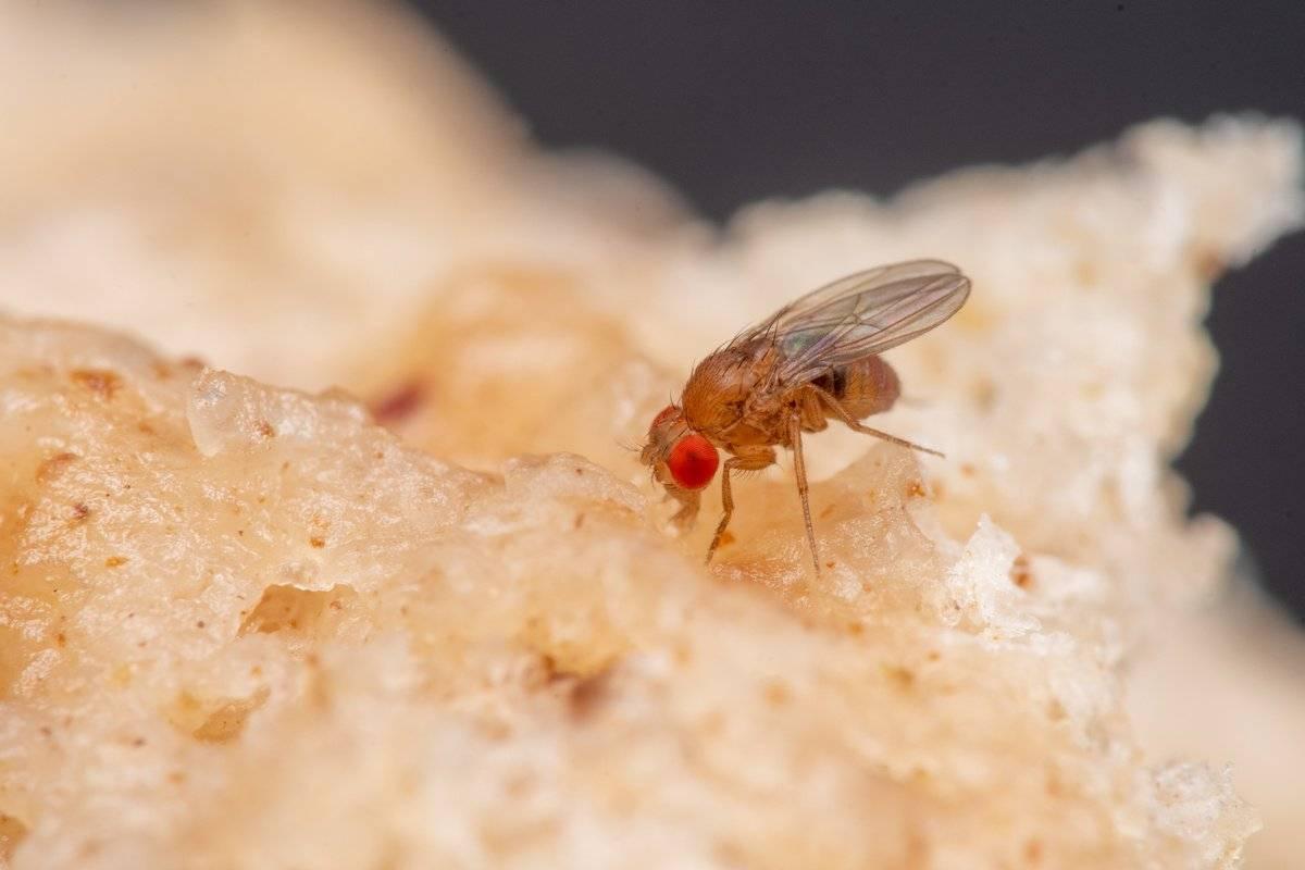 Причины появления мух дрозофил, и как избавиться от них