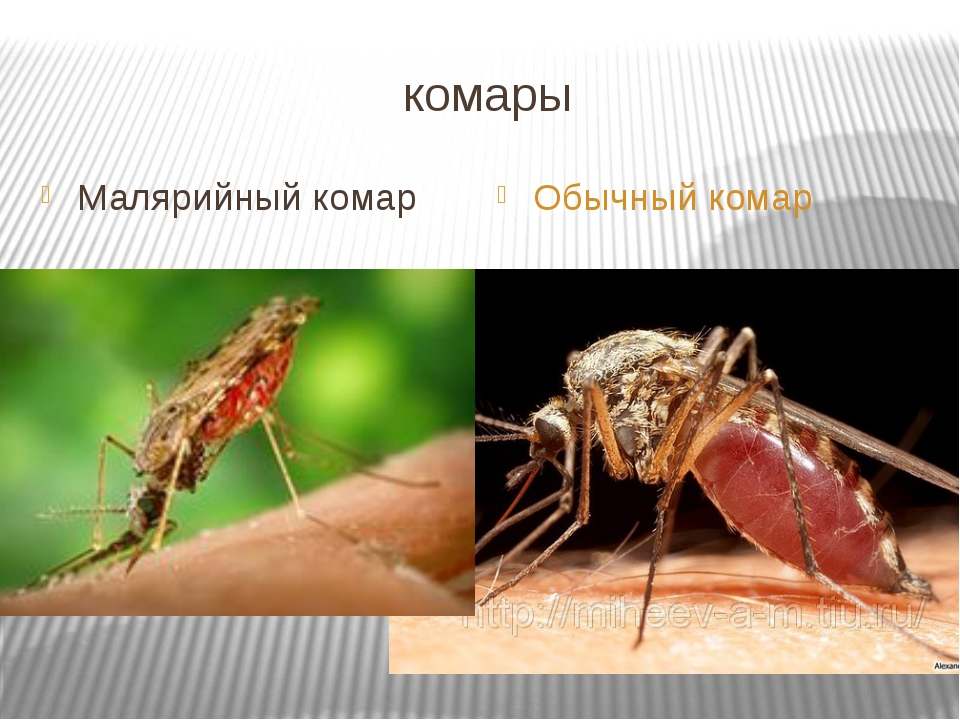 Чем отличаются москиты от комаров. чем отличаются комары от москитов