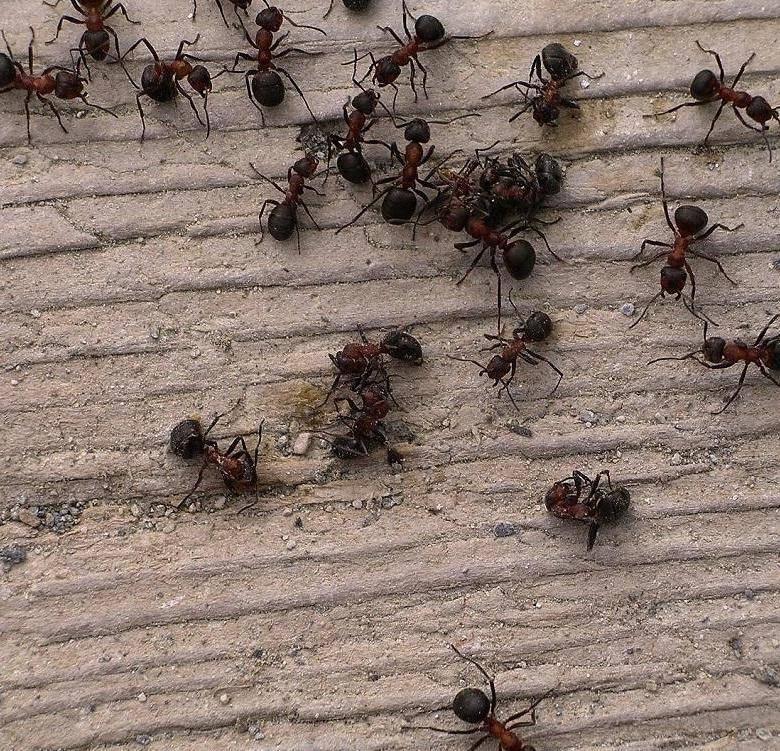 Появились мелкие муравьи в квартире, как избавиться