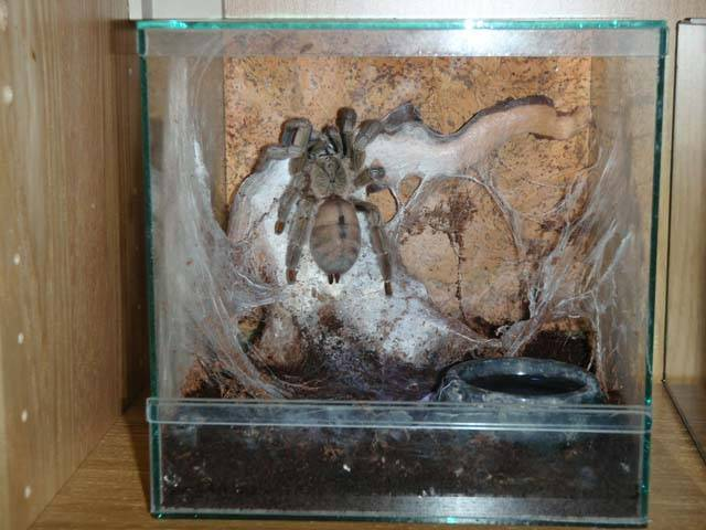 Паук-птицеед: описание и содержание в домашних условиях