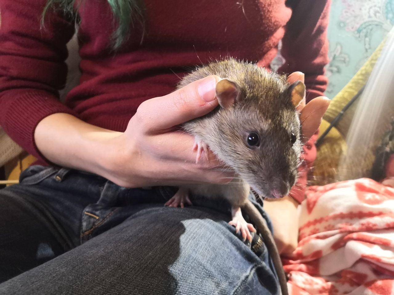 Все о крысах дамбо