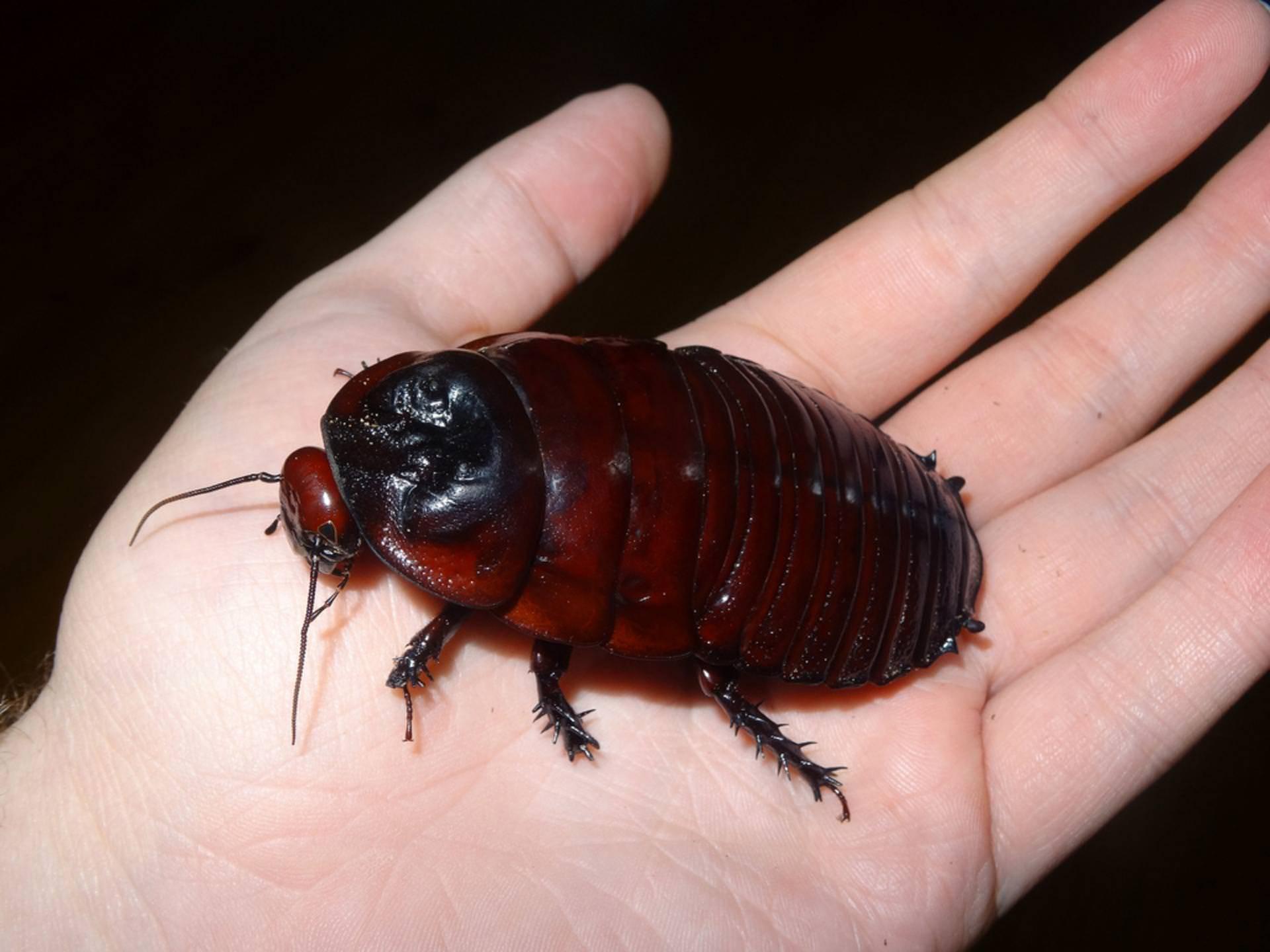 Американский таракан, или красный таракан | мир животных и растений