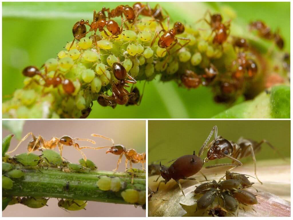 Что делать, если муравьи поедают капусту?   огородник муравьи едят капусту — как остановить урожай?   огородник