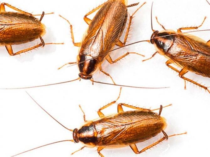 Рыжий таракан (прусак): способы уничтожения насекомого