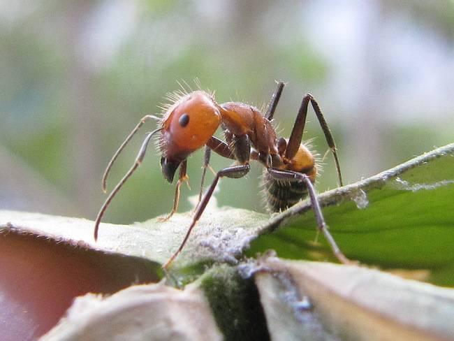 Рыжий лесной муравей — википедия