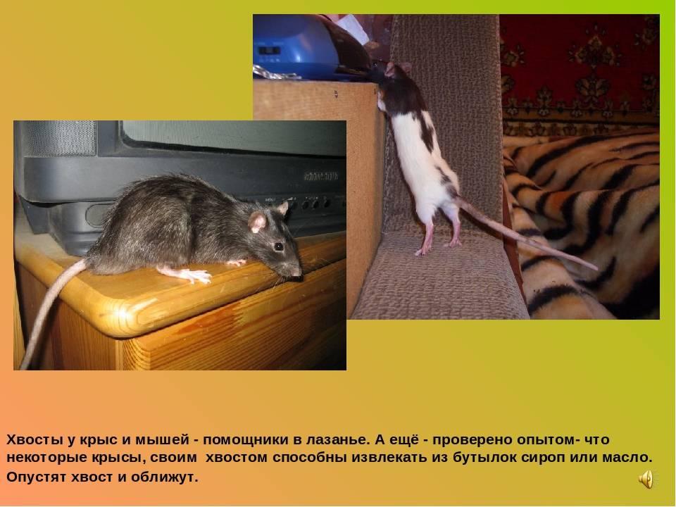 Анатомия крысы: особенности скелета, внутреннее строение органов и другие интересные факты