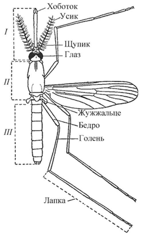 Строение комара: особенности развития - жизненный цикл
