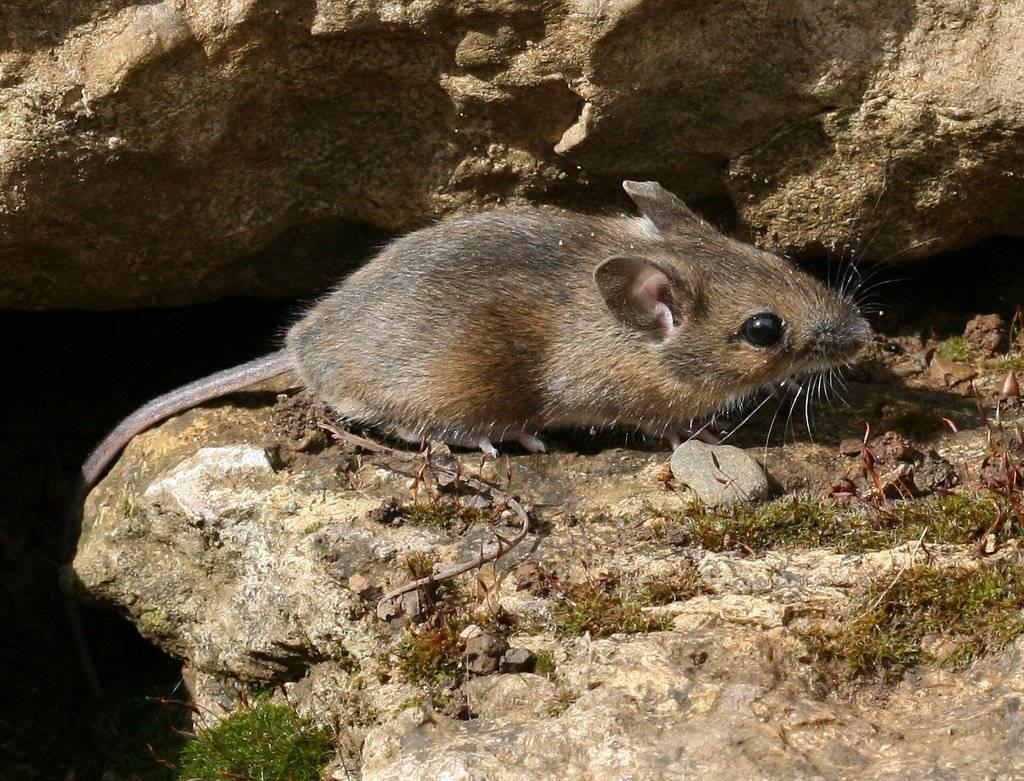 Иглистая мышь — чудо-зверек с уникальной шубкой