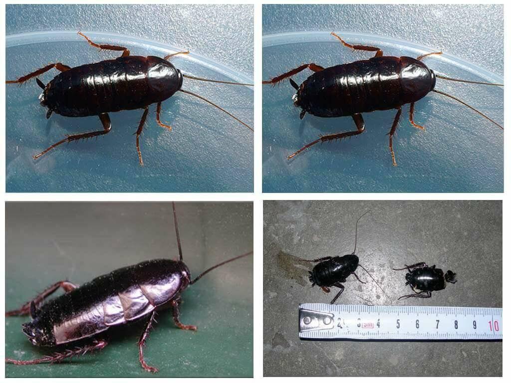 Виды и разновидности домашних тараканов с фото
