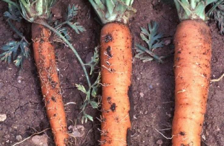 Вредители моркови и борьба с ними, фото