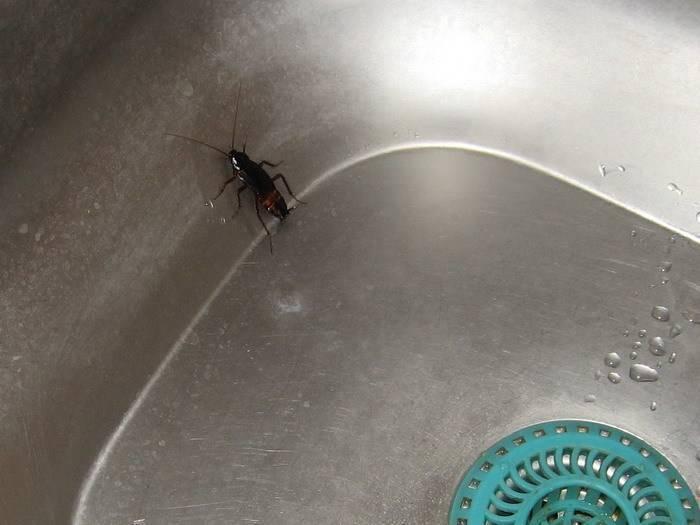 Как избавиться от черных больших тараканов в квартире
