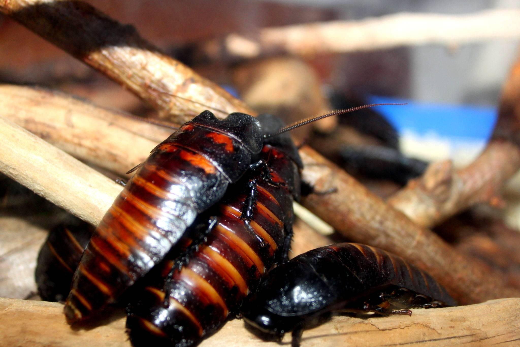 Описание мадагаскарских шипящих тараканов и их содержание: рассматриваем по пунктам