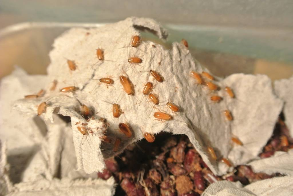 Туркменский таракан: описание и разведение