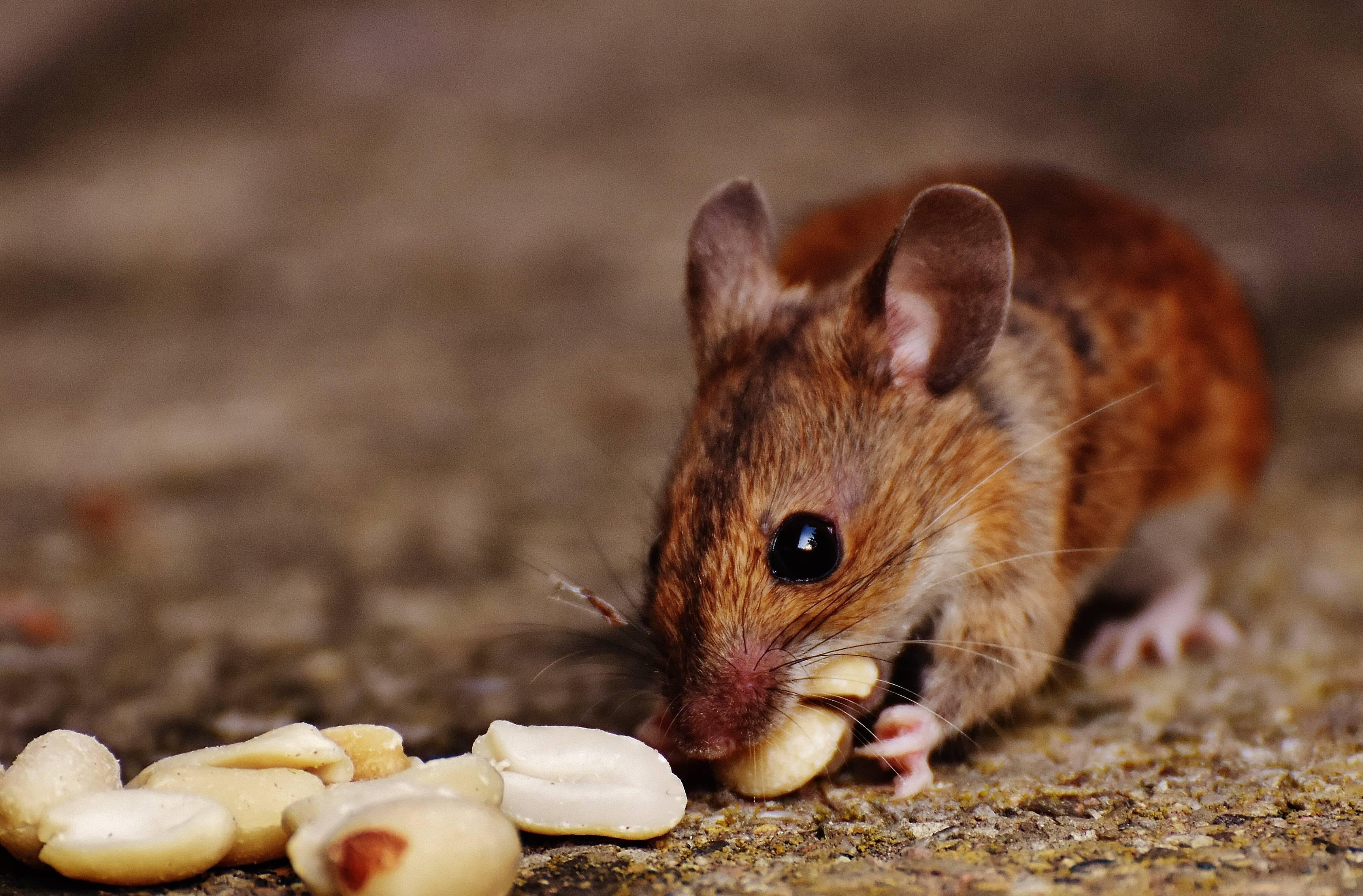 Что едят мыши: в природе и в домашних условиях