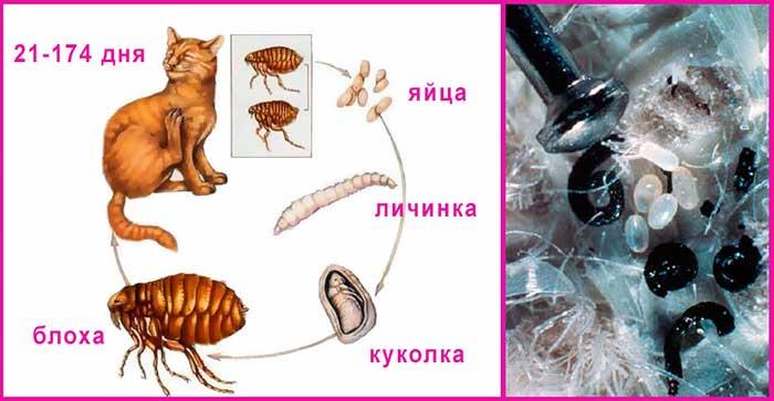Как размножаются кошачьи блохи: особенности развития и размножения паразитов