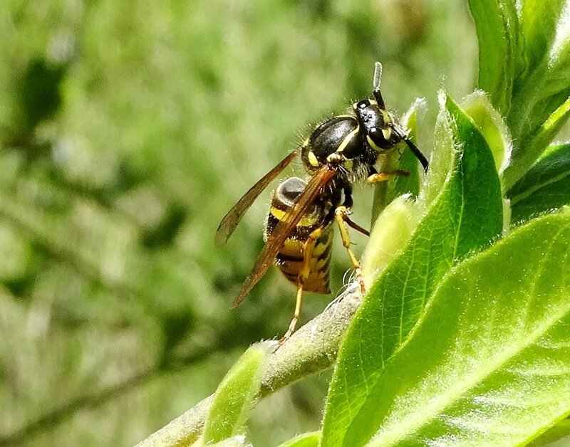 Муха с 4 желтыми точками. муха похожая на осу
