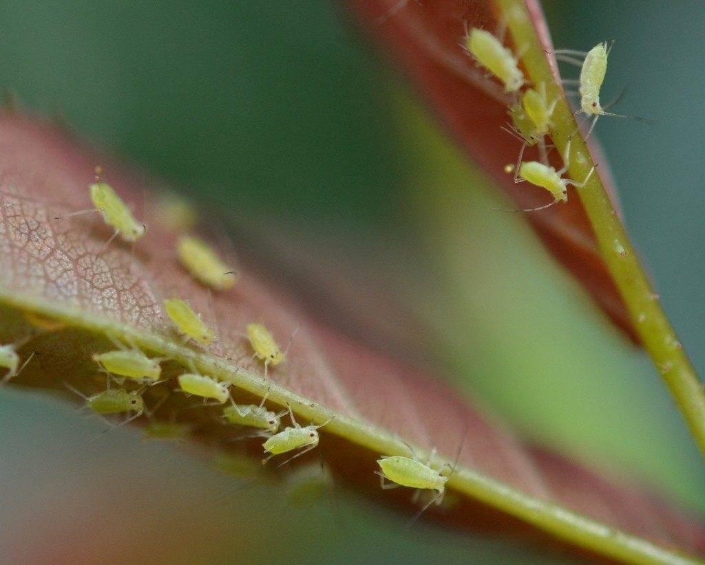 Боремся с тлёй на сливе после цветения – только эффективные средства и методы