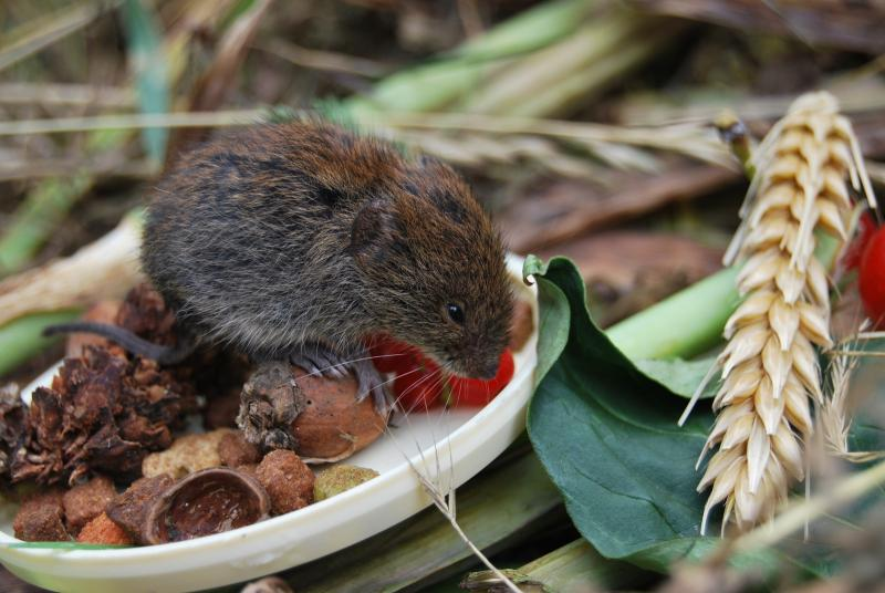 Земляная крыса - как избавиться на даче и огороде