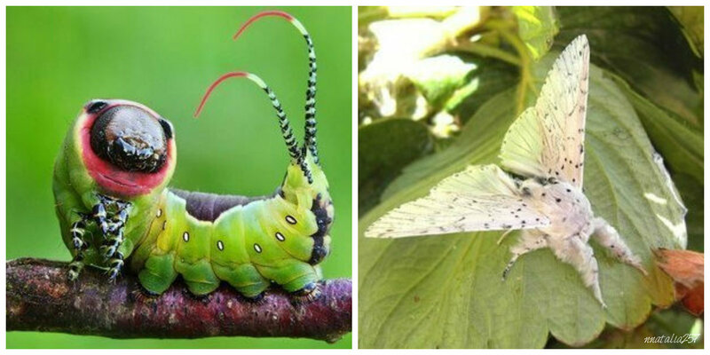 Жизненный цикл бабочек (метаморфоз) : развитие бабочки. превращение гусеницы в бабочку