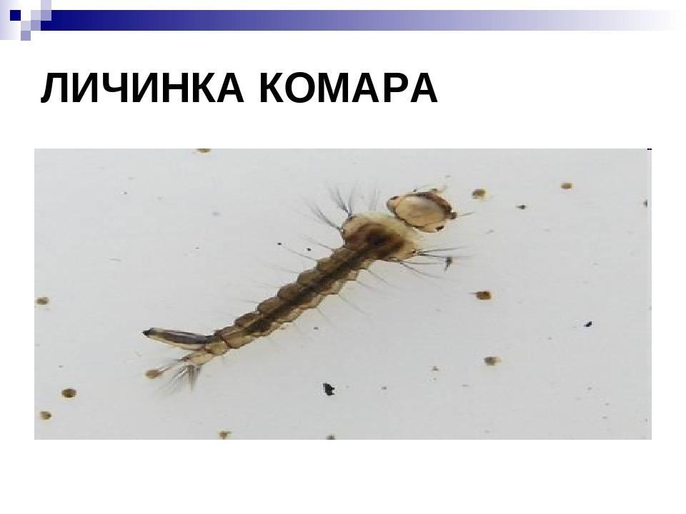 Укус малярийного комара – как распознать укус, признаки, последствия   rvdku.ru