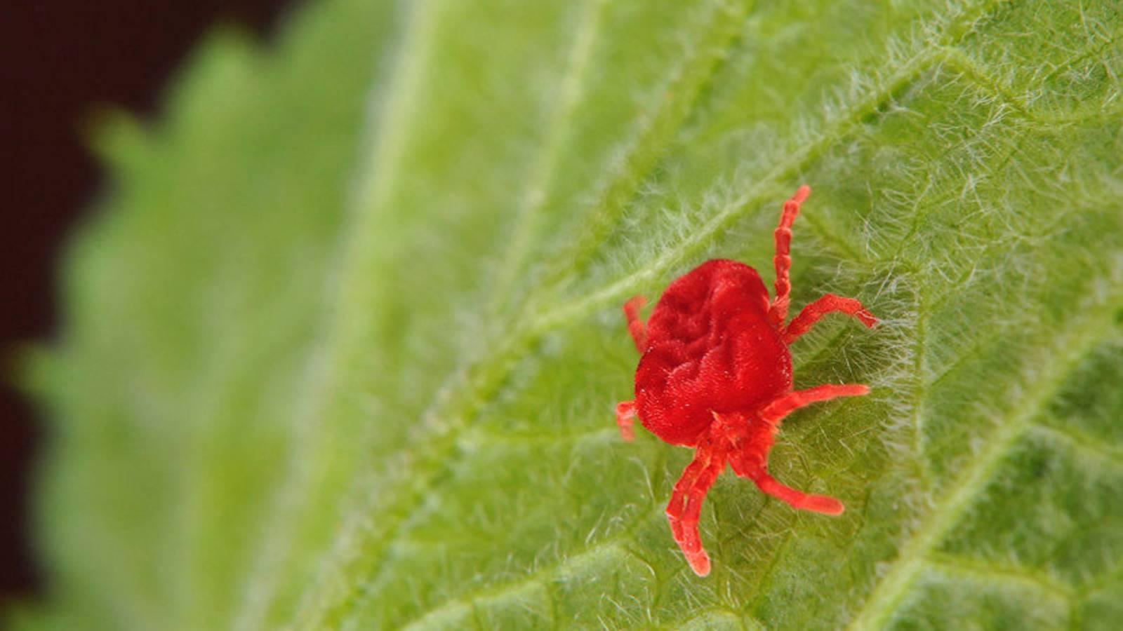 Средство от паутинного клеща: химические и народные