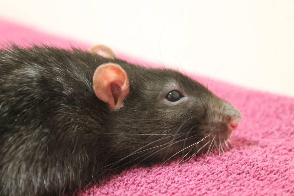 """Как пищат и """"разговаривают"""" крысы, значение издаваемых звуков"""