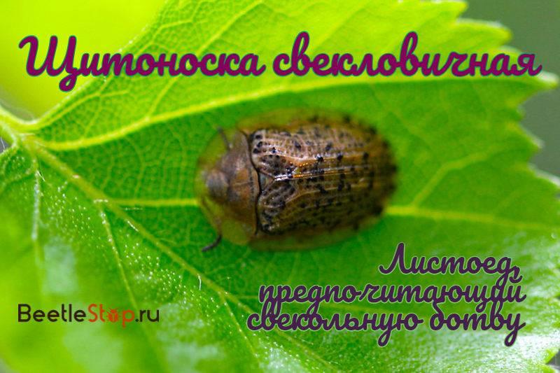 ✅ о выращивании свеклы: подготовка почвы, как вырастить, убрать, болезни - tehnomir32.ru