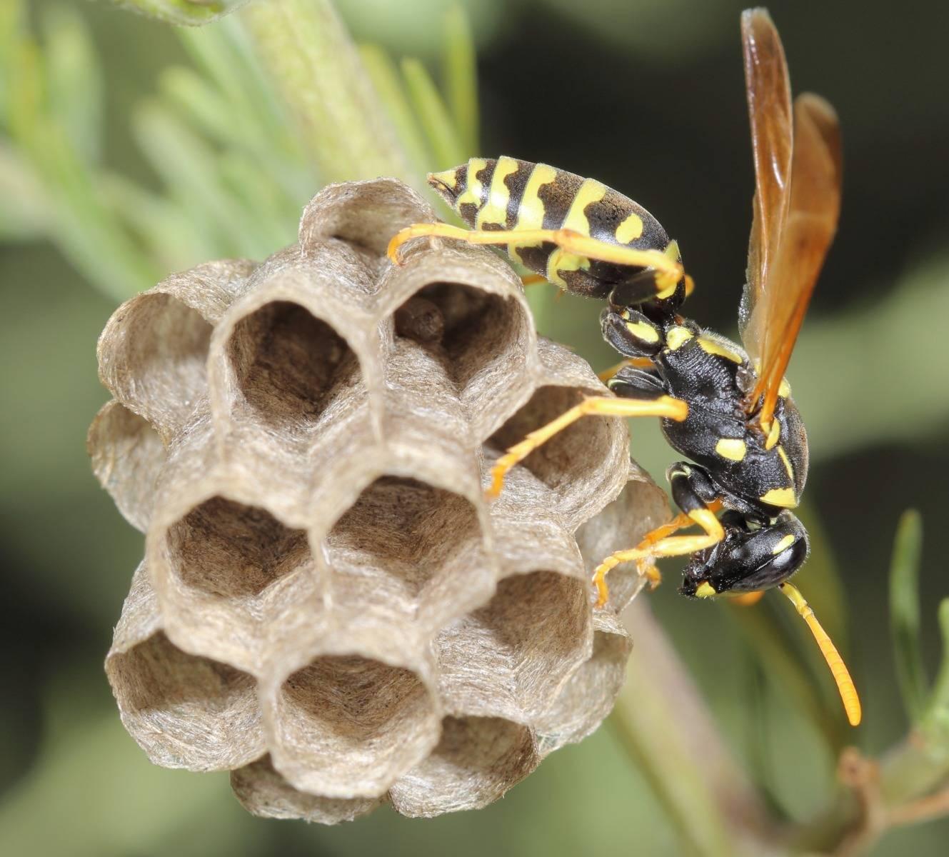 Осы и шершни в саду. опасны ли осы и шершни для человека?