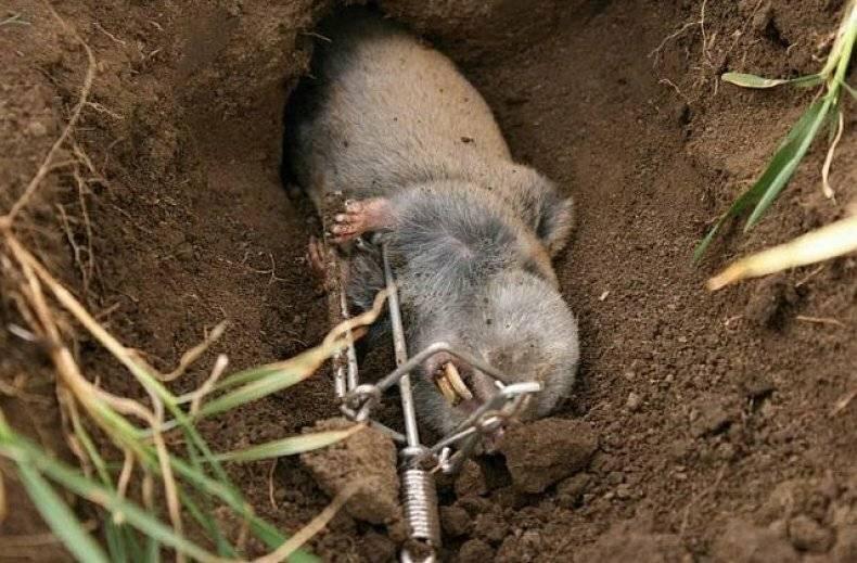 Земляная крыса - вредитель, с которым нужно бороться