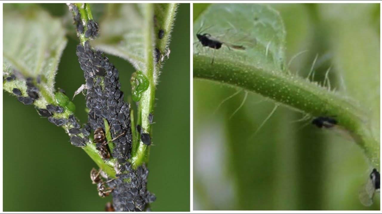 Черные мошки на помидорах: как бороться во время цветения