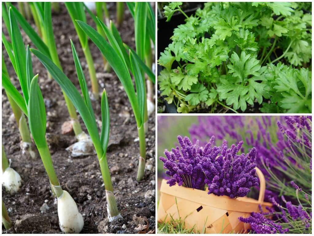 Чесночный настой для опрыскивания от вредителей, тли: стрелки чеснока – применение в огороде, как использовать