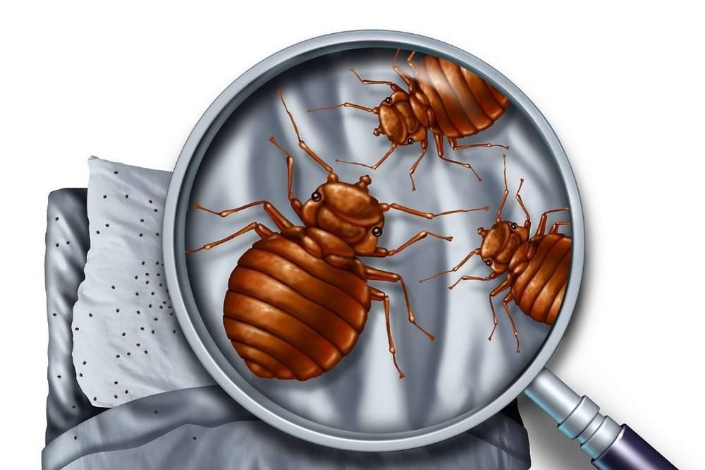 От чего заводятся клопы в доме? Причины появления насекомых