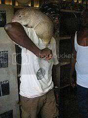 Самая большая крыса в мире - фото, максимальный размер и описание