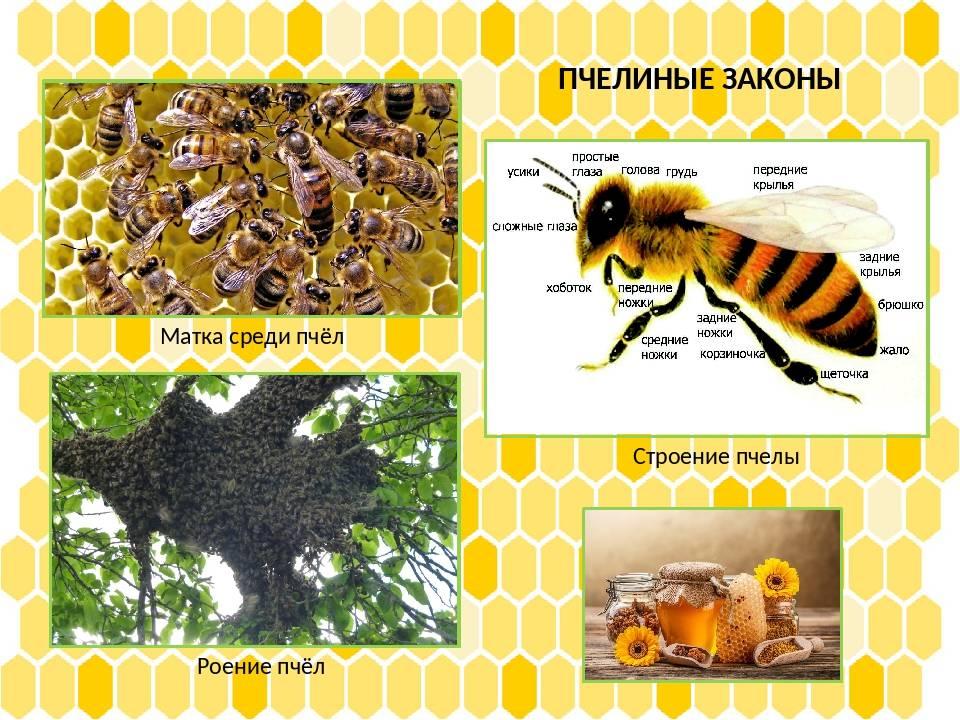 Пчеловодство. особенности медоносных пчел.