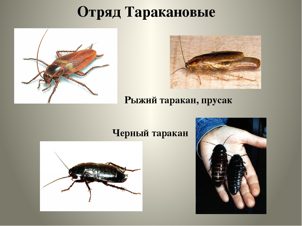 Шахматный таракан: описание внешнего вида и строения, за что это насекомое получило свое название