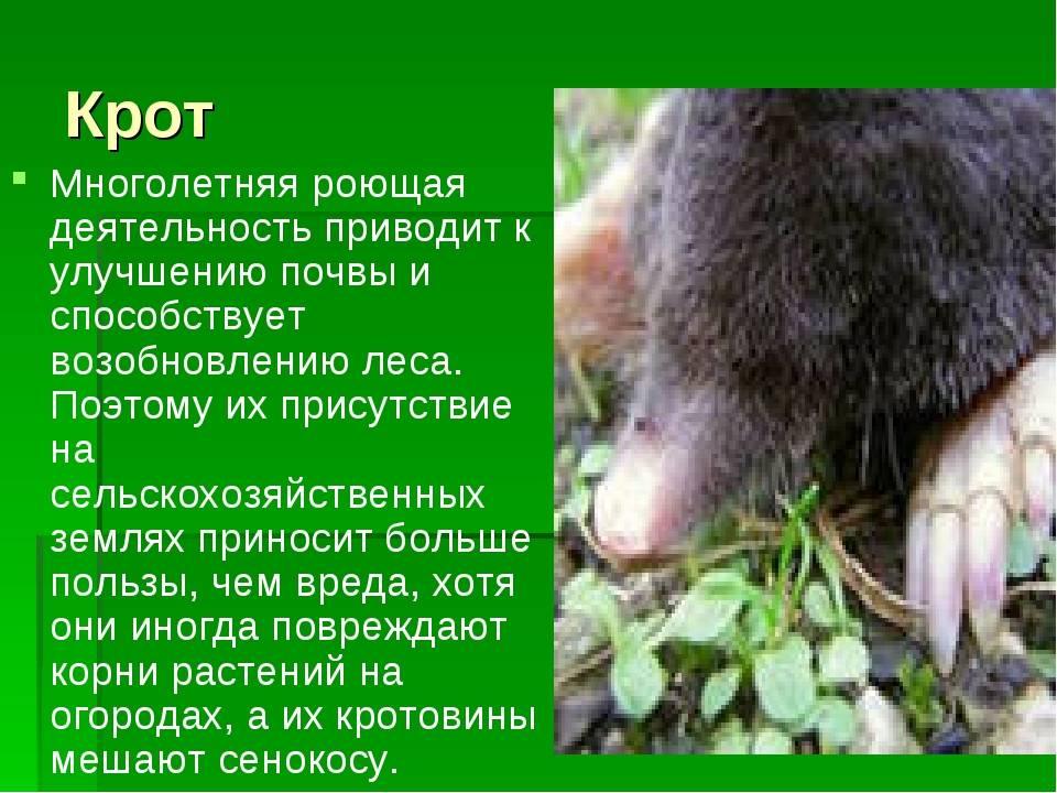 Животное крот: описание, виды, опасность для человека