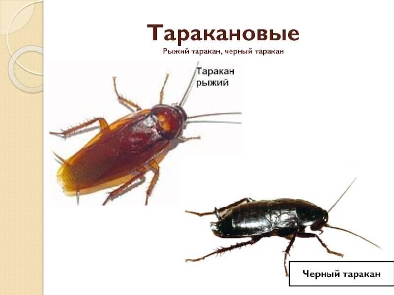 Избавиться от рыжих тараканов в домашних условиях