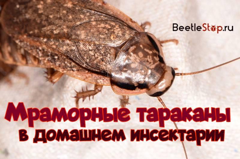 Мраморные тараканы – правильный уход и кормление