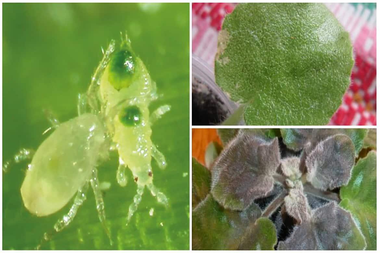 Чем бороться с паутинным клещом на комнатных растениях и цветах: розах, фиалках