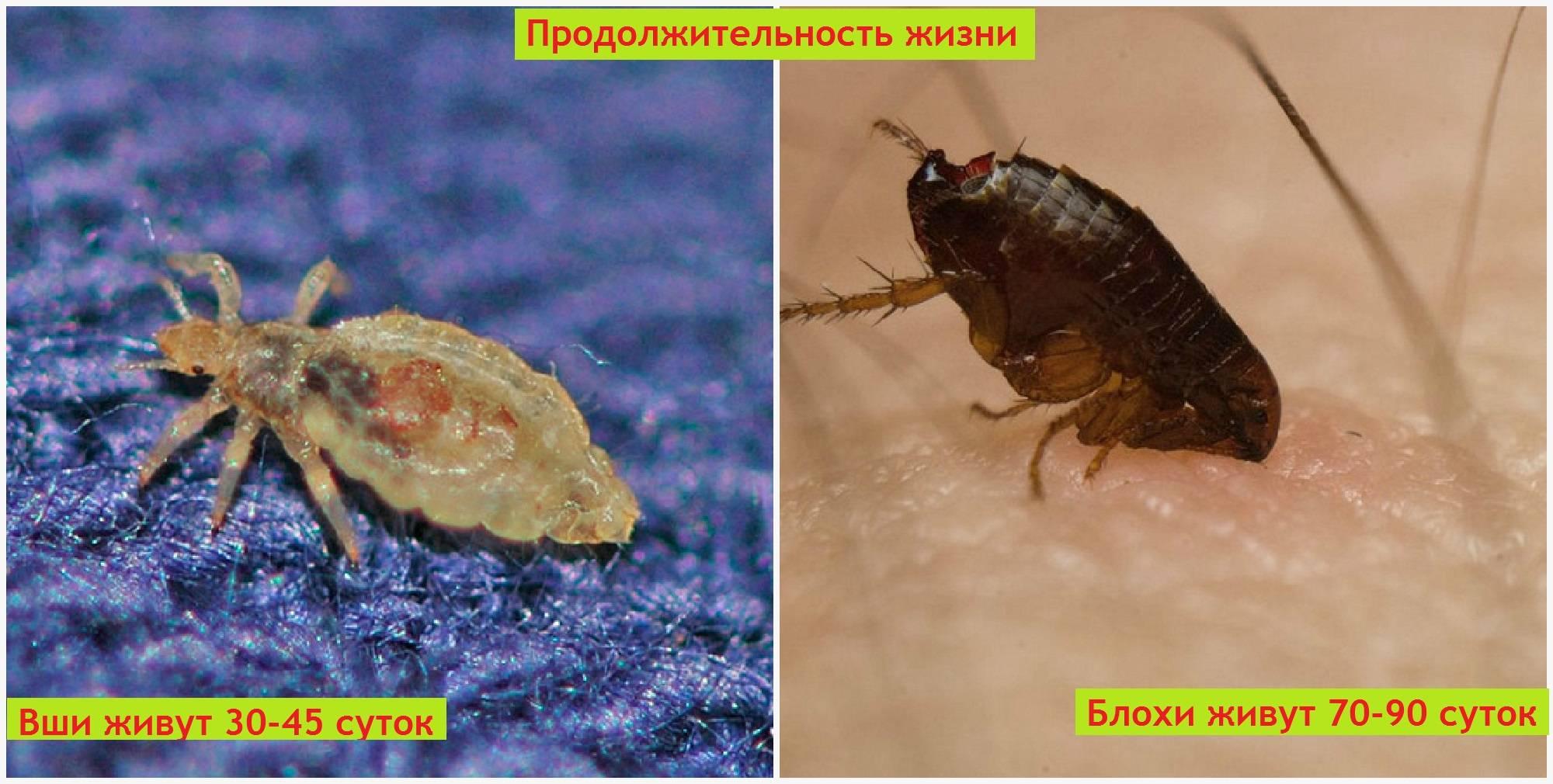 Блохи и вши, фото и характеристика паразитов