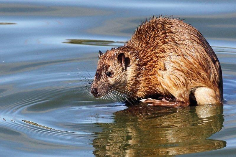 Разновидности водяных крыс. водяная крыса на огороде: как бороться с вредителем