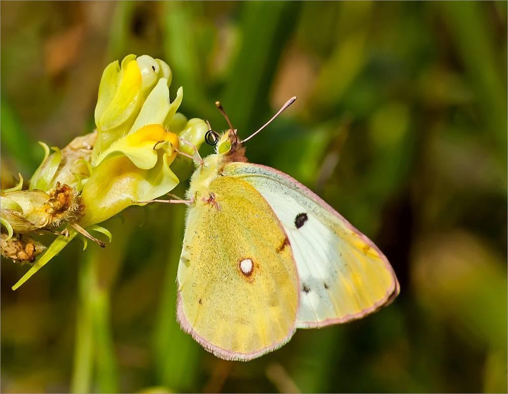 Бабочка желтушка луговая – любительница клевера и люцерны. бабочка желтушка — описание, среда обитания, виды бабочка луговая желтушка описание для детей