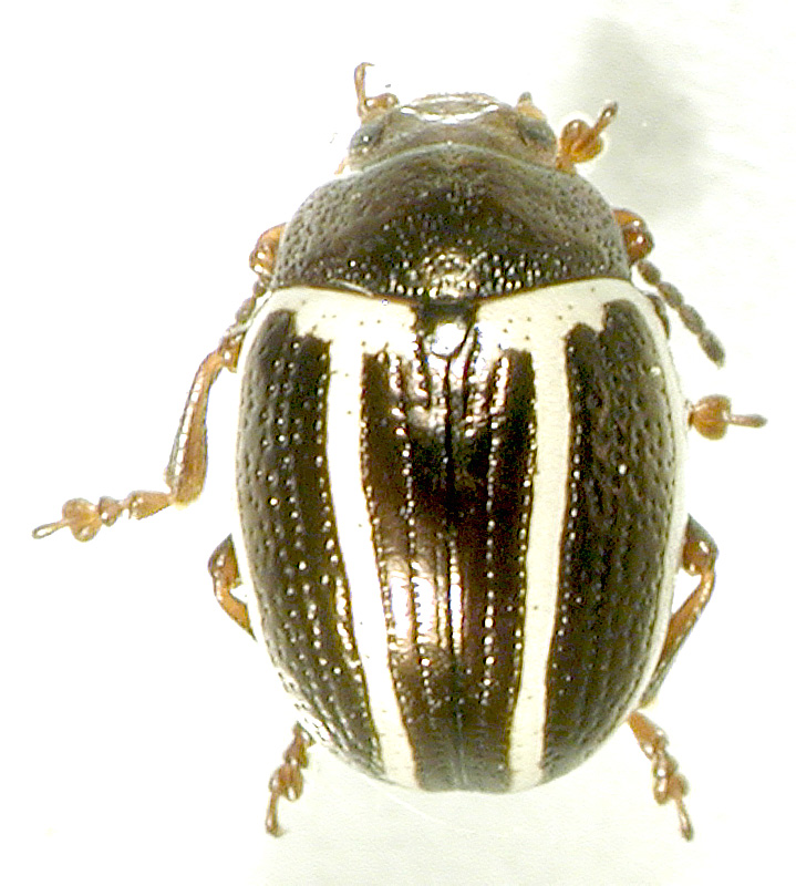 Листоед амброзиевый полосатый: история появления жука в россии и борьба с карантинным сорняком